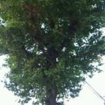 ぎんなんの実った銀杏の木