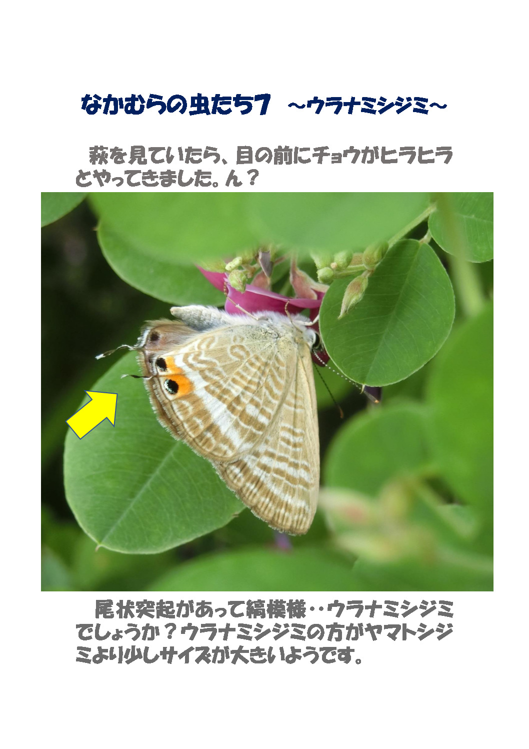 thumbnail of なかむらの虫たち7 ~ウラナミシジミ~