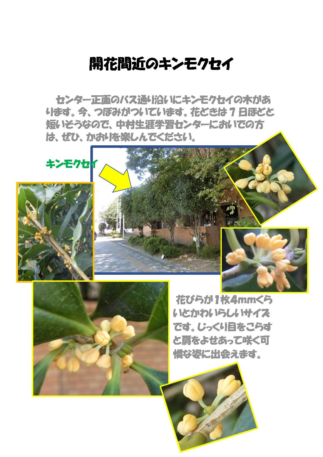 thumbnail of 開花まじかなキンモクセイ